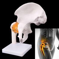 Life Size Ligament Hip Joint Medical Anatomy Model Skeleton Teaching Tool 21 x 24.5cm