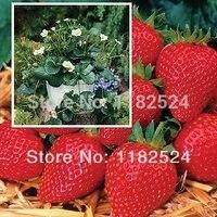 Holland imported Elan F1 Strawberry Seeds Bonsai Fruit Seeds(100 SEEDS)