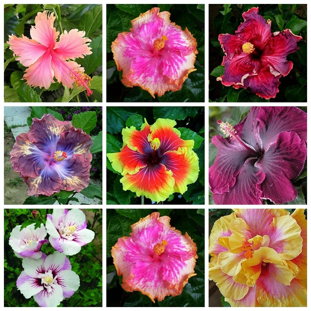100 Seeds Mix Rare Tropical Hibiscus Seeds Flower Plant Seeds In