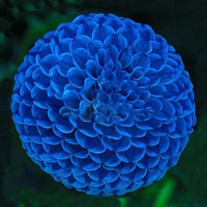Hot Sale Unique Blue Fireball Dahlia Seeds <font><b>Beautiful</b></font> Flower Seeds Perennial <font><b>Plant</b></font> Dahlia Seeds - 100 PCS