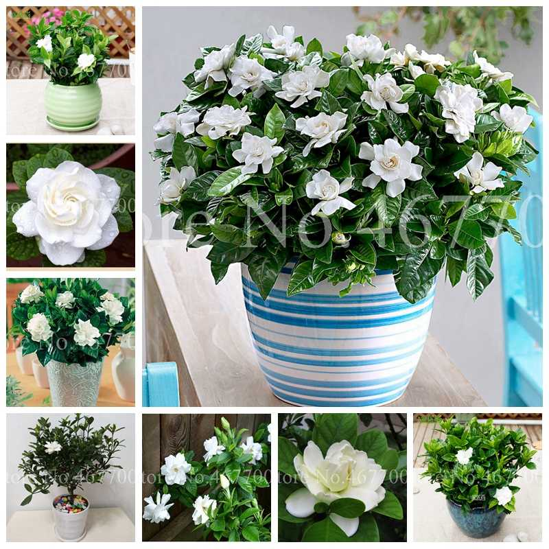 Hot Sale 30 Pcs Bonsai Gardenia Cape Jasmine DIY Home Garden Indoor Potted Gift Amazing Flore Beautiful Room Flower Plants Tree