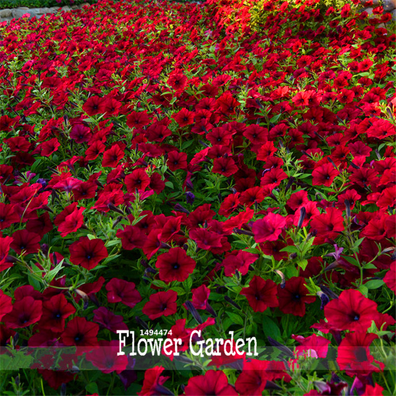 New Fresh Seeds Dark Red Velour Petunia Seeds, 100 Seeds / Bag, Cold Hardy Heat Tolerant Beautiful Flowers,#O571J4