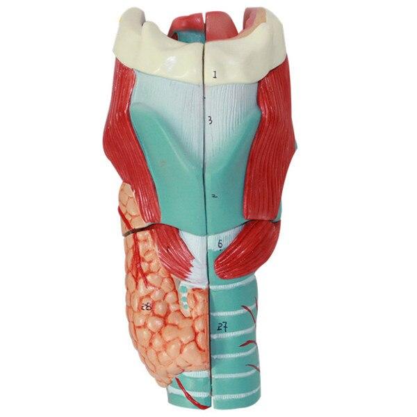 Menschlichen Hals Eigenschaften Vergrößern Anatomie Modell Kehlkopf ...