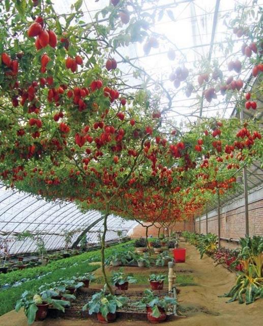 Tomato Seed For Grain Seedling Tree Seedling 200 Seeds