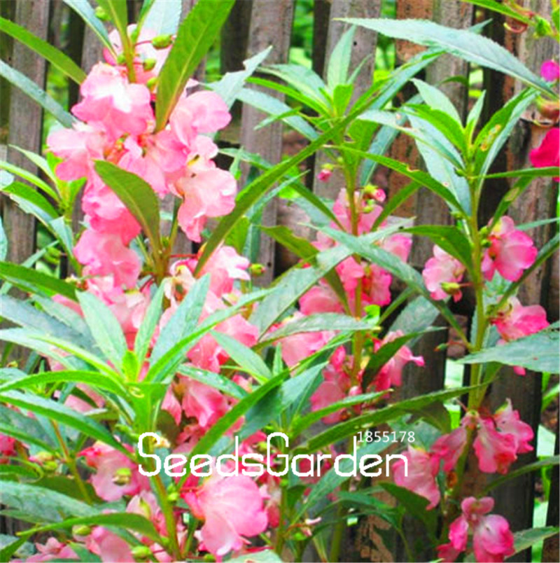 100 PCS Loss Promotion!Balsamina Flower Seeds | Potted