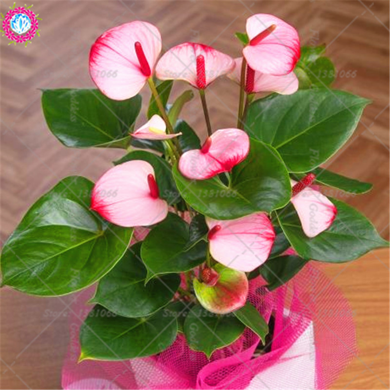 Swallow Palm Bonsai Rare Jade Plants Succulent Flowers 100 PCS Seeds NEW 2019 B