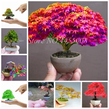 30 Pcs New Maple Tree Bonsai Blue Maple Tree Japanese Balcony Plants Mixed Colors To Choose For Famliy Garden & Balcony Planting the crown maple guide to maple syrup