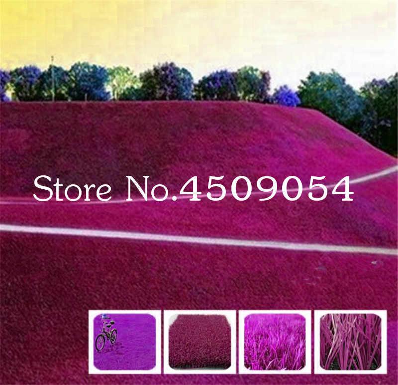 200 قطع نادر الأزرق العشب العشب بونساي ، الغولف ، خاص الصف الحديقة العشب ، ملاعب كرة قدم ، فيلا ، عالية الجودة الزهور المنزل حديقة النبات