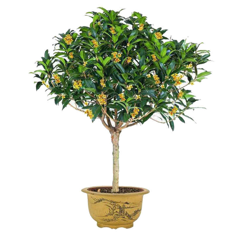 5 Pieces Of Bonsai Laurel Garden Plant Radiation Anti-Potted Four Seasons Cinnamon Garden Outdoor Balcony Living Room Flowers