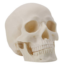 692fa66dd5ba Résine Art Crâne Humain Réplique Modèle D enseignement Médical Réaliste 1 1  Taille Adulte