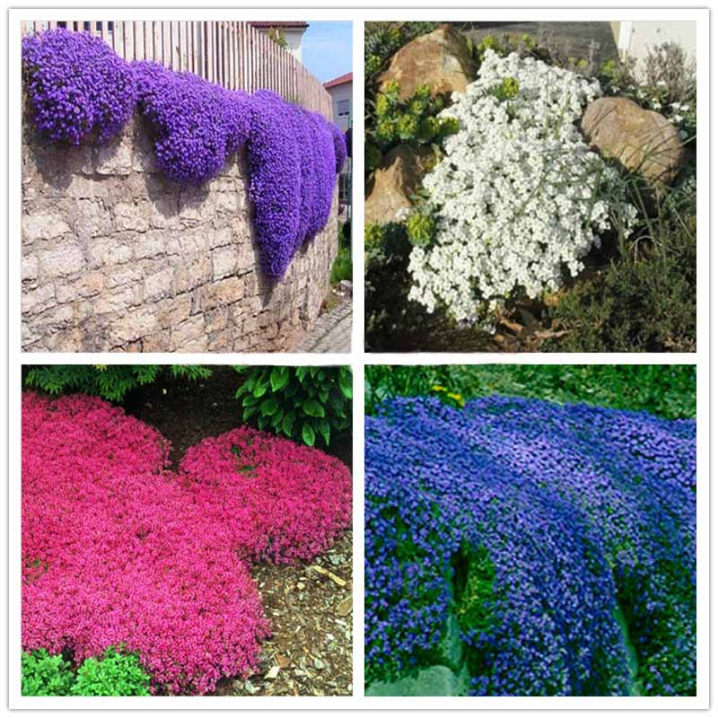 Climbing plant Creeping Thyme Seeds Blue ROCK CRESS Seeds Perennial Ground cover flower , Natural growth for home garden -100pcs