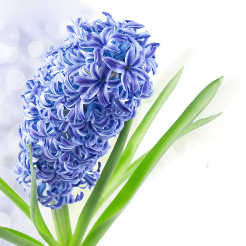 Hot Sale Light Blue Hyacinth Seeds Balcony Hyacinthus Orientalis Flower Seeds Potted Plants Home garden Plants Seeds 120PCS