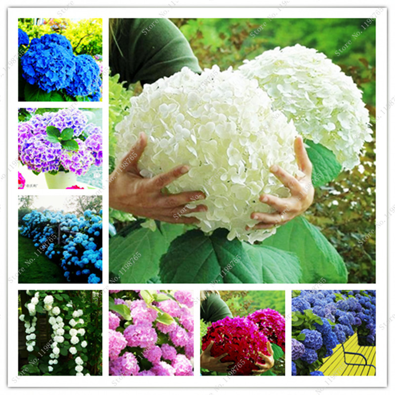 Bonsai 50 Pcs Multiple Color Choice Hydrangea Bonsai Perennial Flower Plant Hydrangea Balcony Ornamental Garden Decoration Plant(China)
