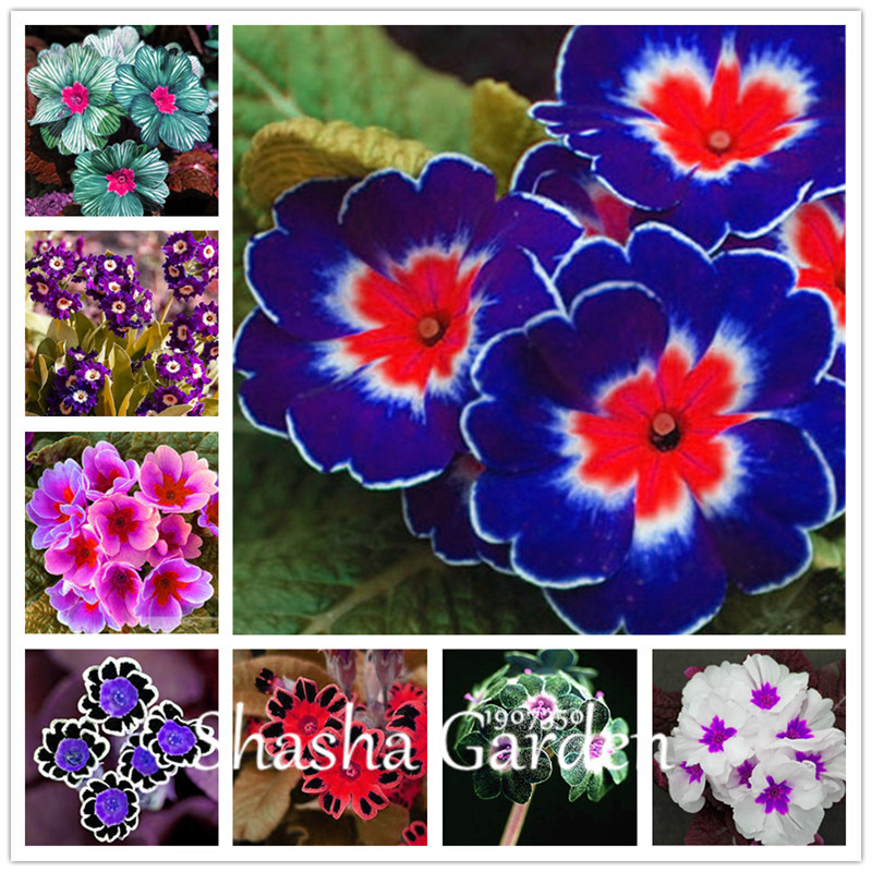 Promotion!!! 200 Pcs Evening Primrose Blue Evening Primrose, Exotic Heirloom Fragrant Flower DIY Home Garden Flower Hardy Plant