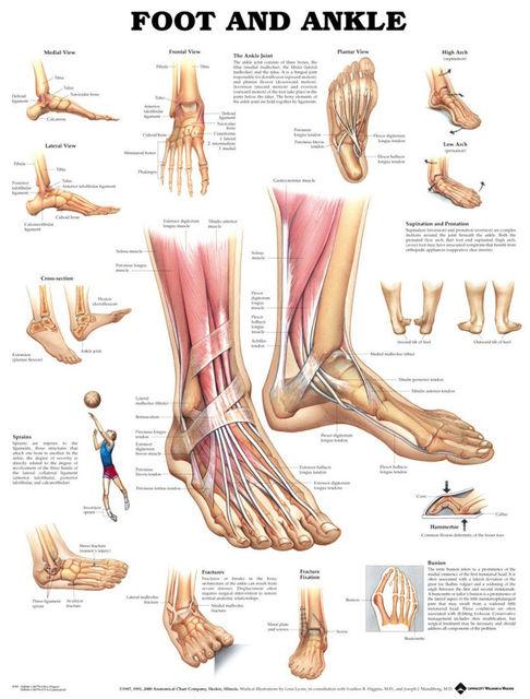 Muscular Y Esquelético Anatomía De Tobillo Pie Tela poster 17 \