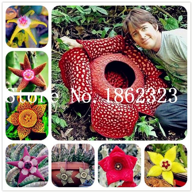 120pcs Bonsai Plants Stapelia Pulchella Plant Perennial Flower