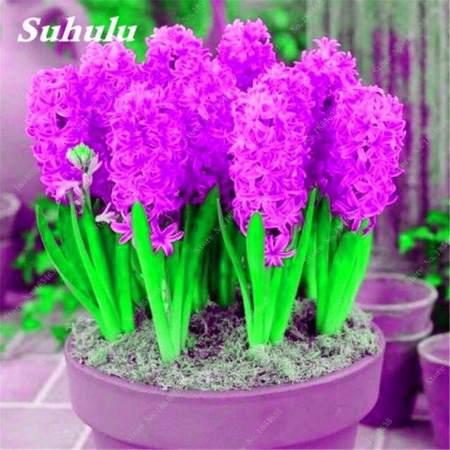 100 unids jacinto hyacinthus orientalis semillas plantas verdes de interior las plantas de flores fcil de - Plantas Verdes De Interior