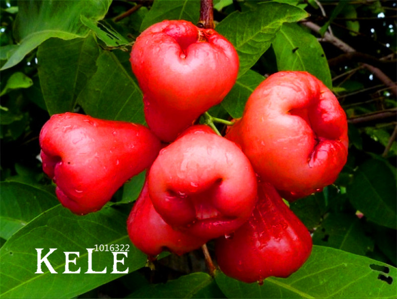 Promotion!50 PCS/bag Rose Apple Bonsai Rare China Fruit Flores For Home Garden Planting Easy Grow,#YDS5RH