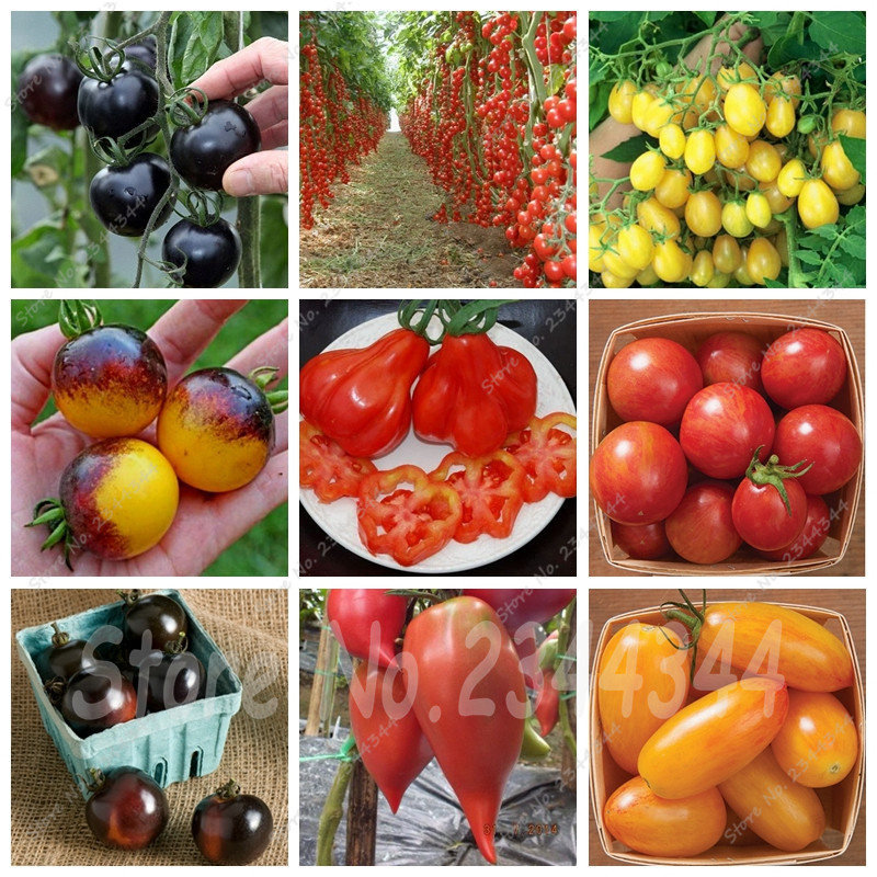Plantar tomates compra lotes baratos de plantar tomates - Tomates cherry en maceta ...