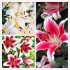 100pcs / bag 24 colors lily bonsai, cheap perfume lilies plant for Garden and home Mixing different varieties 1