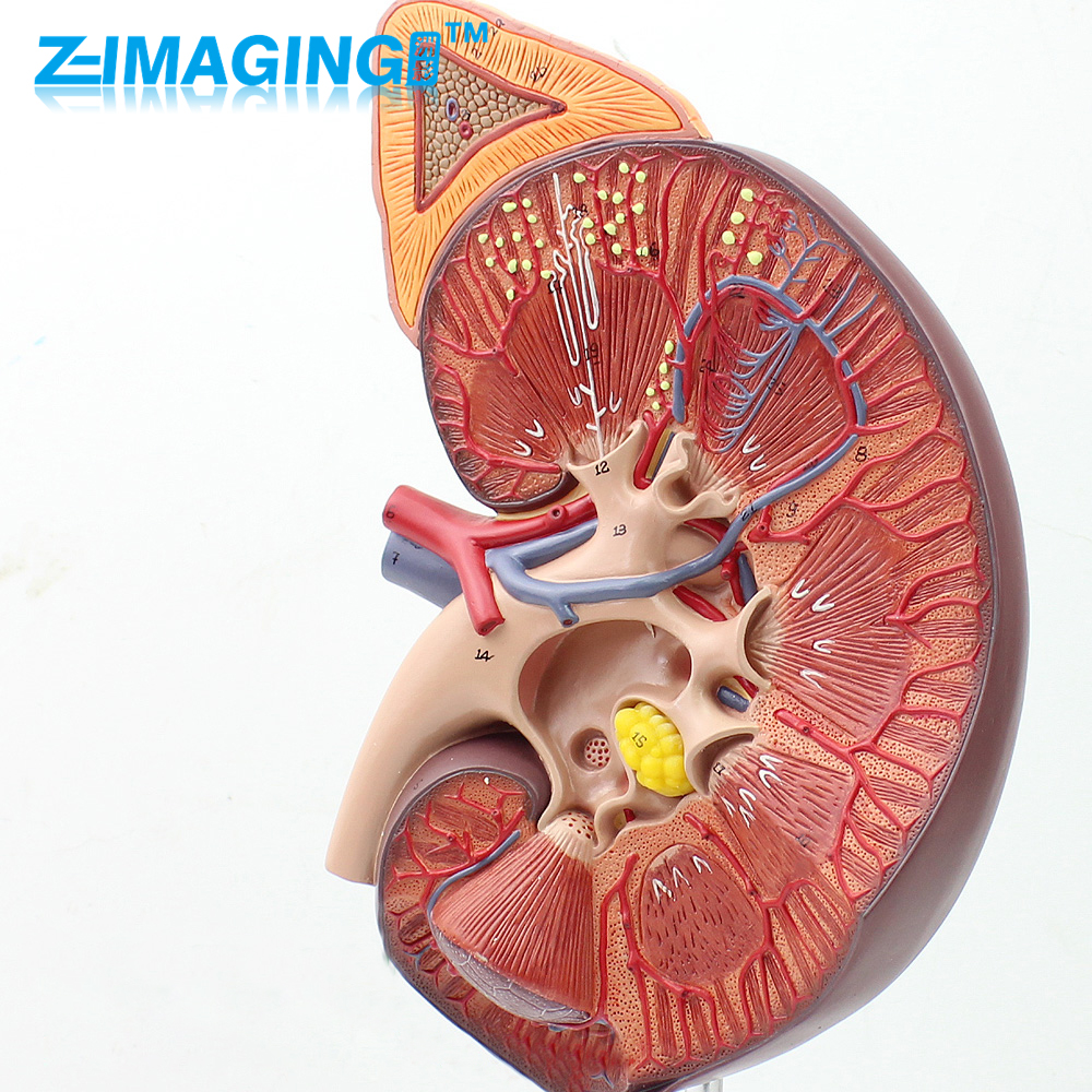 Medical kidney anatomical model of human kidney adrenal reproductive urologist urinary system model vinclozolin induced reproductive toxicity in male rats