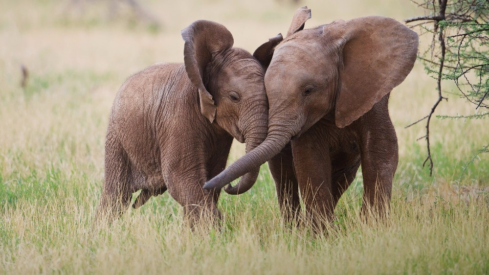 Elefanten Free Diamond