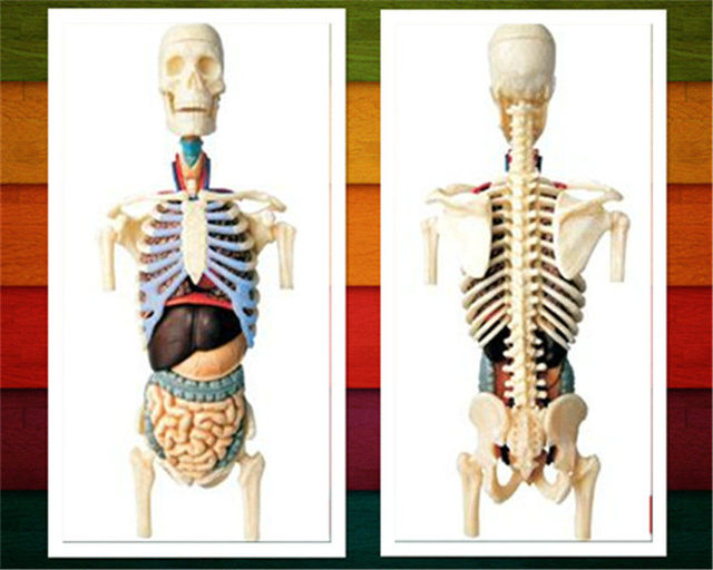 8 4d Master Transparent Torso Anatomy Model Medical Human Skull