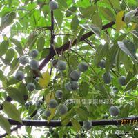 Neem Neem tree bonsai plant Ku Ling Shusen neem tree bonsai purple blooms jujube 200g / Pack tree bonsai