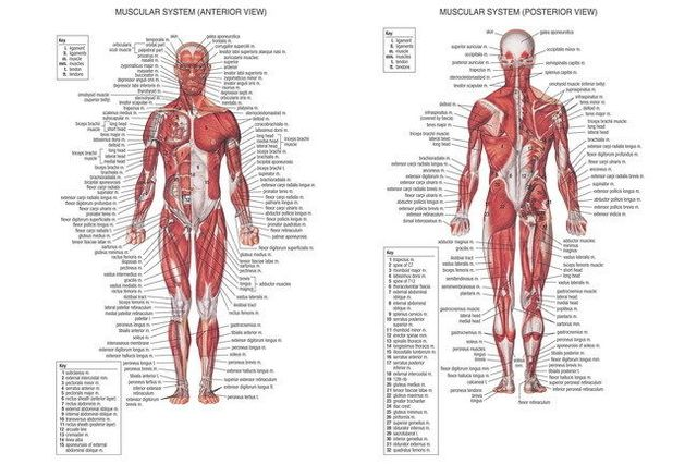 01 Human Body Anatomical Chart Muscular System 21x14 Poster In