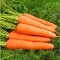 200 pçs/saco sementes de cenoura Orgânica Da Herança sementes vegetais de frutas Cinco centímetros ginseng cenoura sementes em vasos de plantas para jardim de casa