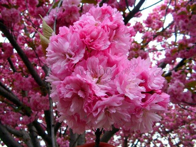 Big salebonsai tree japanese sakura plants rare japanese cherry big salebonsai tree japanese sakura plants rare japanese cherry blossoms pink flowers garden in mightylinksfo