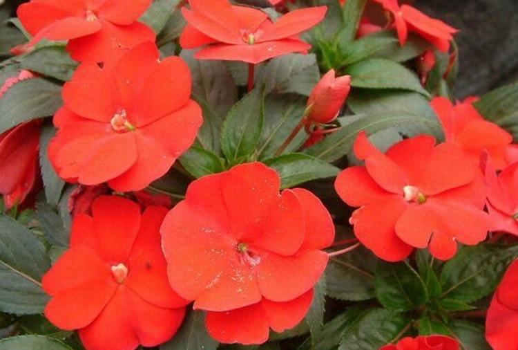 orange impatiens aliexpresscom buy impatiens walleriana baby scarlet flowers