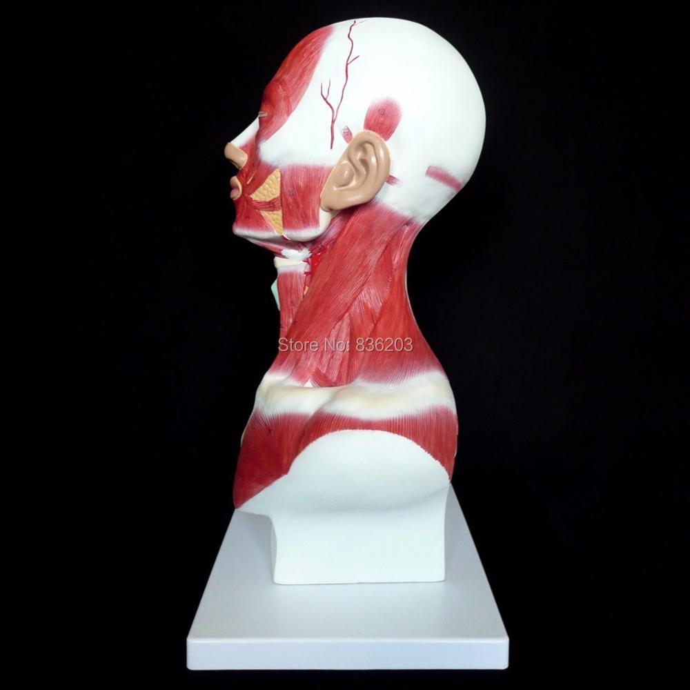 Menschliches puppe skeleton gehirn anatomisches anatomia schädel ...