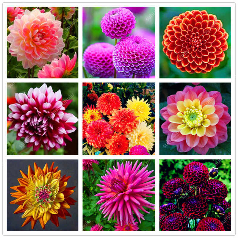 100 pcs Mixed color Rainbow Dahlia Bonsai Chinese Indoor Bonsai Flower Plants 24 Colors To Choose For Home Garden Plantting