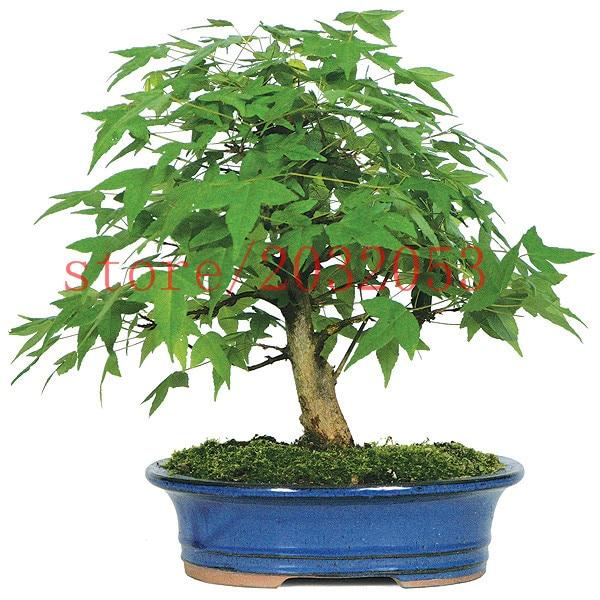 20 japanese maple seeds mini bonsai tree seeds for home