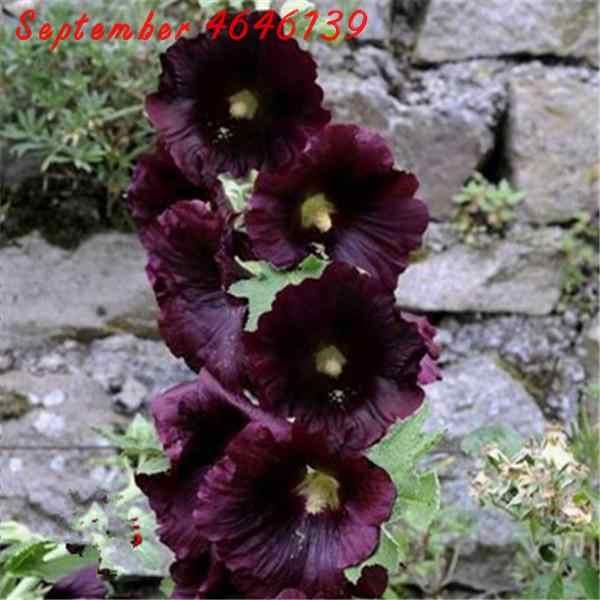 Big Sale!100pcs Magnificent 100% true bonsai Japanese bonsai potted hollyhock plants DIY home garden Double flap Hollyhock