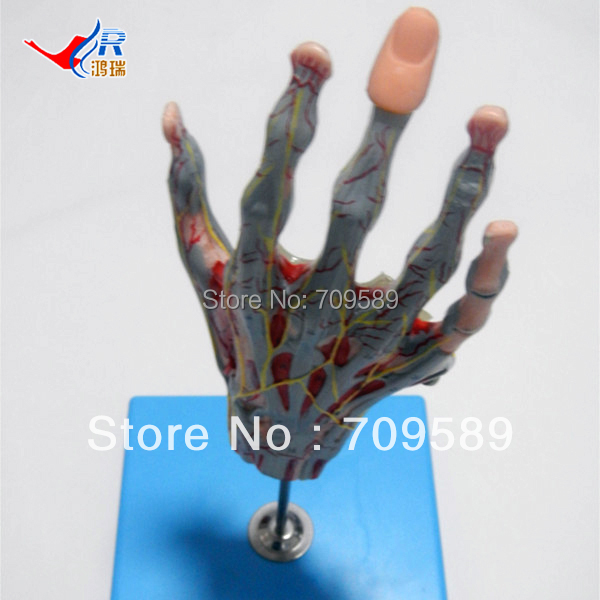 ISO Deluxe Muscles of Hand with Main Vessels & Nerves, anatomical muscles model economic half head with vessels model anatomical head model with brain nerves vascular muscles and vessels