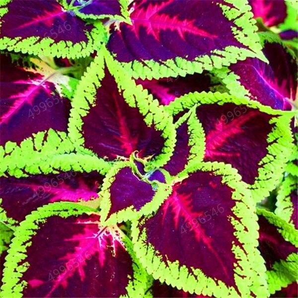 Hot-Sale-100Pcs-Begonia-Bonsai-Flower-Plant-for-Plant-Home-Garden-Courtyard-Balcony-Coleus-Potted-Plant.jpg_640x640 (7)