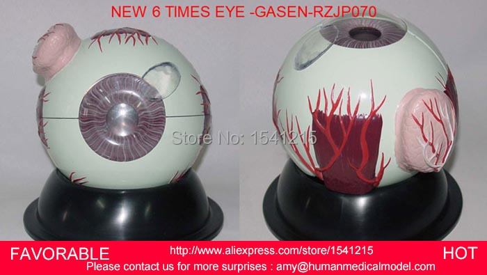 EYE ANATOMICAL MODEL ,6 TIMES EYE,HUMAN GIANT EYE MODEL, EYEBALL STRUCTURE MODEL,EYEBALL ANATOMICAL MODEL -GASEN-RZJP070 skin block model 26 points displayed human skin anatomical model skin model