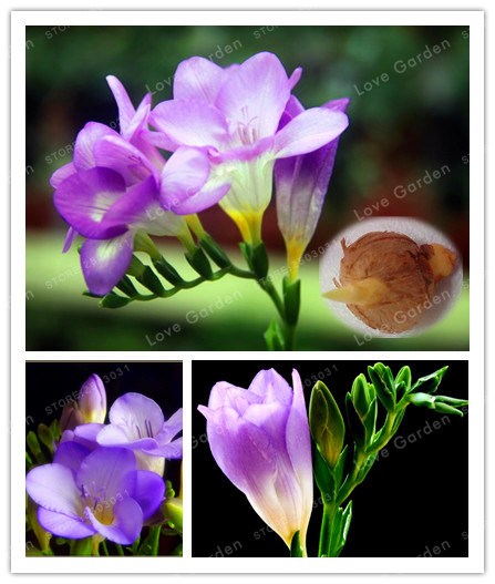 True Freesia Bulbs Indoor Potted Flowers Orchids (It Is Not Seed),Floral Quiet Home Garden Plant Flower Bulbs -2 Bulbs