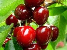20 pcs Delicious Sweet Cherry tree seeds,Fruit Seed DIY Home Garden big cherry tree Seeds,Free shipping
