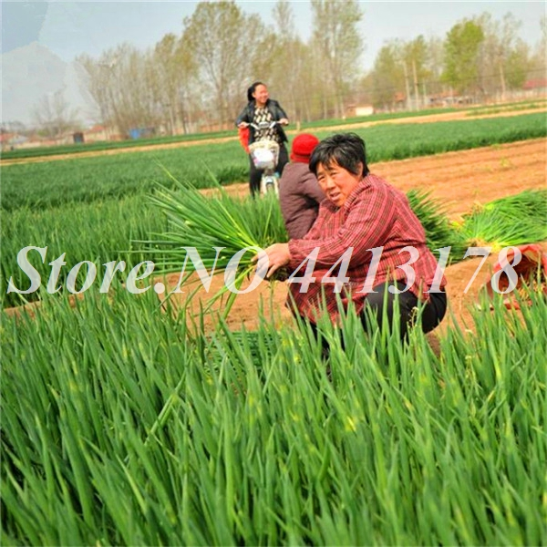 scalonicum_Vegetable_Seeds_Online_Plant_Spices_Vegetables_Herb_Tuber_Onion_Grow_Shallot_Cong__3_