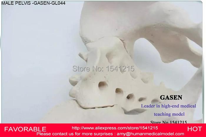 DEMO HUMAN SKELETON SYSTEMS MALE PELVIS SKELETON ADULT MALE PELVIS SPECIMENS MODEL ILIUM ISCHIAL PUBIC MODEL GASEN-GL044 iso anatomy pelvis model median section of female pelvis model
