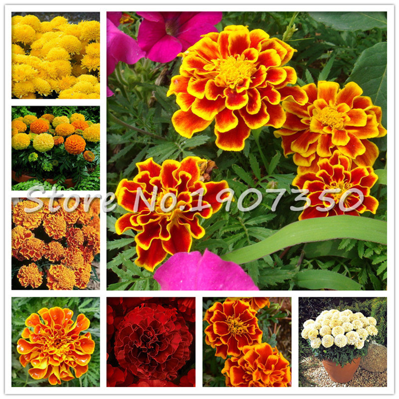 Sales Promotion 100 Pcs African Marigold French Marigold Herbs Tagetes Erecta Flower Bonsai Tagetes Flower For Home Garden Plant
