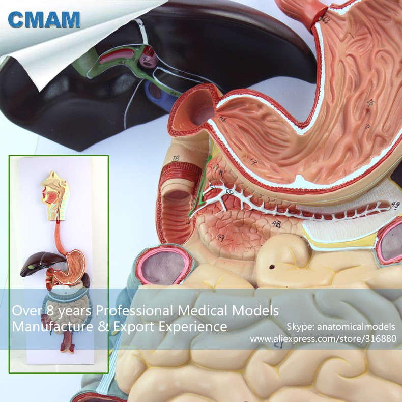12549 CMAM-VISCERA12 Hanging Type Anatomy Model Human Digestive System, Medical Science Educational Teaching Anatomical Models 12400 cmam brain03 human half head cranial and autonomic nerves anatomy medical science educational teaching anatomical models