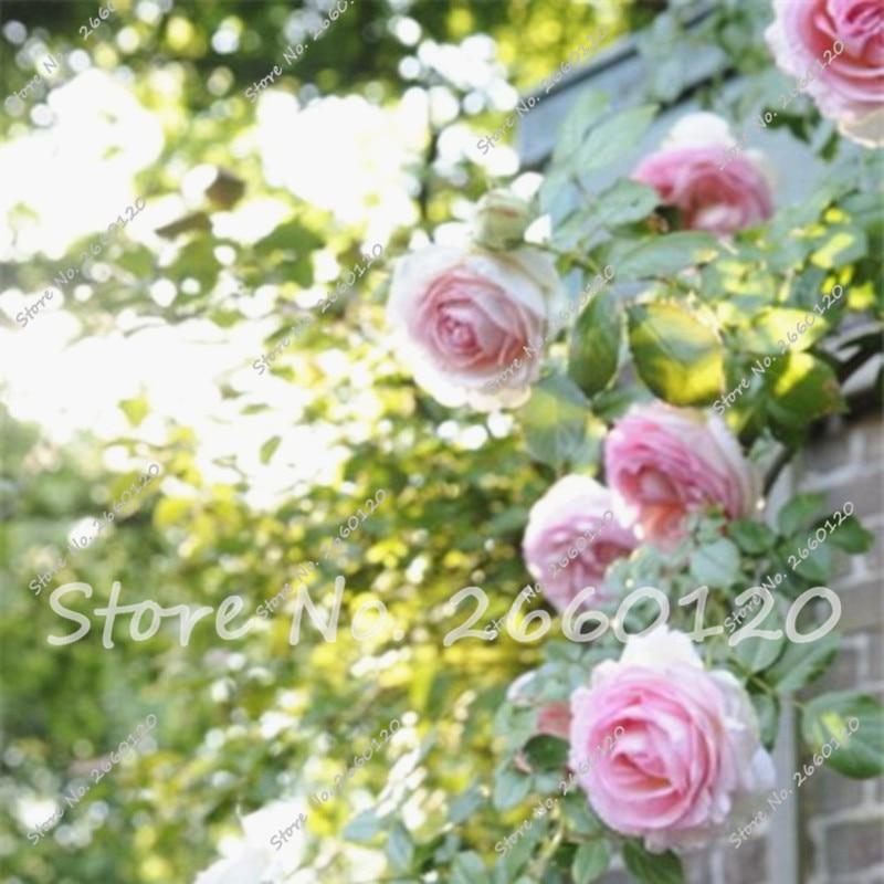 Rrare Exotic 10 Pcs Rose plants , Rainbow Roses Bonsai Flowers plants perennial garden jardim plante for Home Garden Decor  5