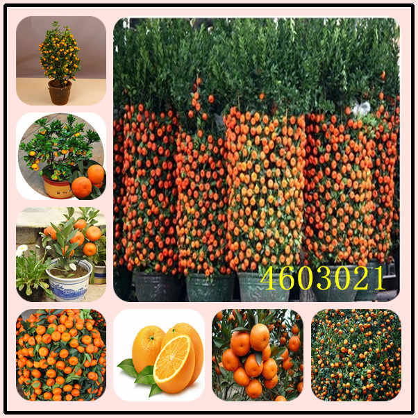 20Pcs Citrus plant Bonsai Mandarin Orange bonsai Edible Fruit Bonsai Tree plant Healthy Food Home Garden Easy To Grow