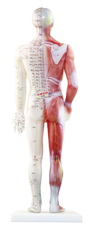 Niedlich Menschliches Muskel Modell Zeitgenössisch - Anatomie Ideen ...