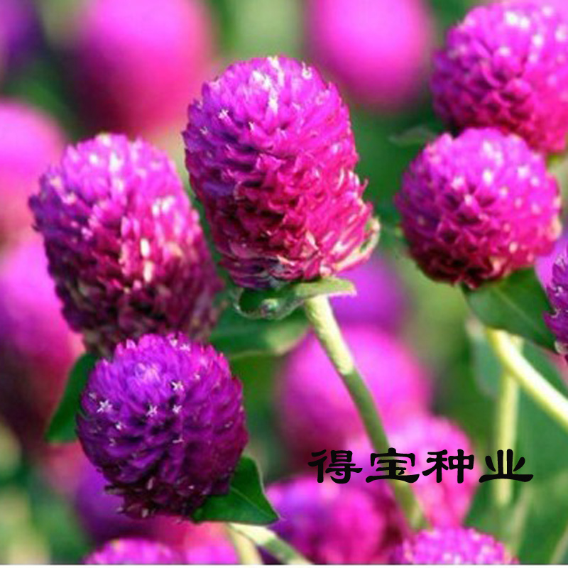 Large Thousand Red Seed Potted Terrace plant Garden Flower Seeds Fireball Flower Millennium Red 100Seeds