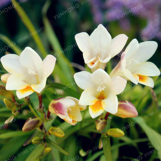 Online shop true yellow freesia bulbs indoor potted flowers orchids true yellow freesia bulbs indoor potted flowers orchidsbonsaifloral quiet home garden plant flower bulbs 2 bulbs mightylinksfo